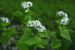Fleur blanche 02 de ressort Photographie stock libre de droits