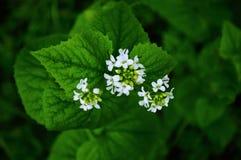 Fleur blanche 01 de ressort Images libres de droits