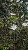 Fleur blanche de ressort photographie stock libre de droits