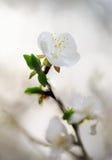 Fleur blanche de ressort. Milieux de tache floue de nature Images libres de droits