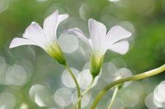 Fleur blanche de robertianum de géranium Photo stock