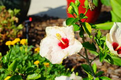 Fleur blanche de rosa-sinensis de ketmie Photographie stock
