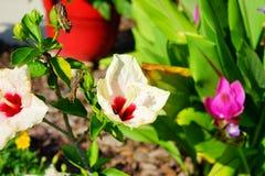Fleur blanche de rosa-sinensis de ketmie Photo stock