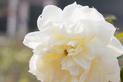 Fleur blanche de Rose Image libre de droits