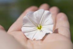 Fleur blanche de rose trémière sur une main Images stock