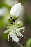 Fleur blanche de source Images libres de droits