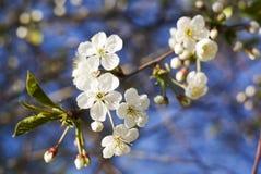 Fleur blanche de source Photos stock