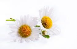 Fleur blanche de source de marguerites d'art d'isolement sur le fond blanc Images libres de droits