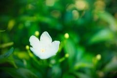 Fleur blanche de tache floue abstraite sur le fond vert de nature Image libre de droits