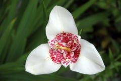 Fleur blanche de tigre photographie stock libre de droits