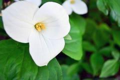 Fleur blanche de Trillium Photographie stock