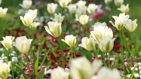 Fleur blanche de tulipe banque de vidéos