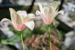 Fleur blanche de tulipes de couleur au printemps Photographie stock libre de droits