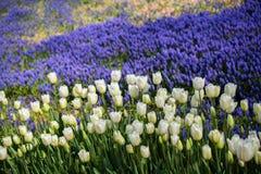 Fleur blanche de tulipes de couleur au printemps Photos stock