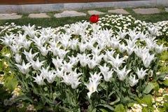 Fleur blanche de tulipes de couleur au printemps Images libres de droits