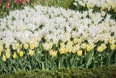 Fleur blanche de tulipes de couleur au printemps Photo stock