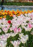 Fleur blanche de tulipes de couleur au printemps Image stock