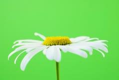 Fleur blanche des camomiles Photos libres de droits