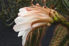 Fleur blanche durable sensible de cactus dans un jardin botanique image libre de droits