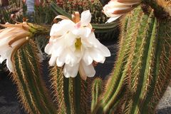 Fleur blanche durable sensible de cactus dans un jardin botanique photos stock