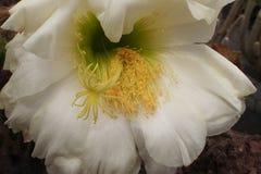 Fleur blanche durable sensible de cactus dans un jardin botanique photo libre de droits