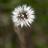 Fleur blanche en parc national de sommet photographie stock libre de droits