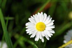 Fleur blanche en tant que d'abord signe de ressort, Allemagne Image libre de droits