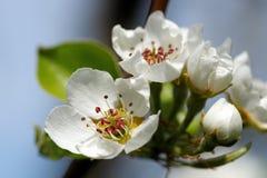 Fleur blanche en tant que d'abord signe de ressort, Allemagne Photos stock