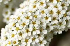 Fleur blanche en tant que d'abord signe de ressort, Allemagne Photo libre de droits