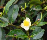 Fleur blanche et feuilles vertes d'usine de thé - Camellia Sinensis Photo stock
