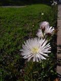 Fleur blanche et jaune Photo stock