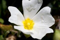 Fleur blanche et jaune Image libre de droits