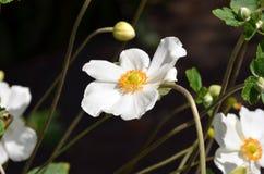 Fleur blanche et jaune Photos libres de droits