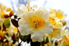 Fleur blanche et jaune Image stock