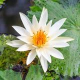 Fleur blanche et jaune de fleur de lotus dans un étang Photo stock