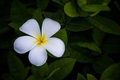 Fleur blanche et jaune de Plumeria sur les feuilles vertes Photographie stock libre de droits