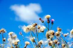 Fleur blanche et pelucheuse sur un fond bleu Photos stock