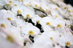Fleur blanche et pollen jaune Images libres de droits