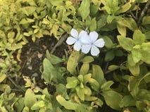 Fleur blanche et pourprée Image stock