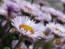 Fleur blanche et rose Images stock