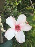 Fleur blanche et rose Photos libres de droits