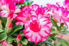 Fleur blanche et rose de désert, obesum d'adenium Photo stock