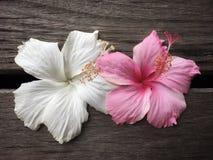 Fleur blanche et rose de ketmie photographie stock