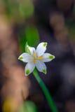 Fleur blanche et verte de ressort Photo libre de droits