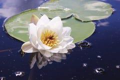 Fleur blanche flottant dans le lac photos libres de droits