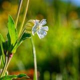 Fleur blanche globulaire Photos libres de droits