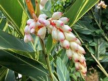 Fleur blanche humide de Shell Ginger, lis rose de porcelaine, gingembre varié, zerumbet d'Alpinia de gingembre de papillon dans l images libres de droits