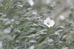 Fleur blanche isolée dans l'herbe verte onduleuse Photo libre de droits