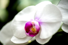 Fleur blanche lumineuse d'orchidée dans le jardin Photographie stock