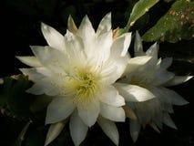 Fleur blanche magnifique de cactus photo stock